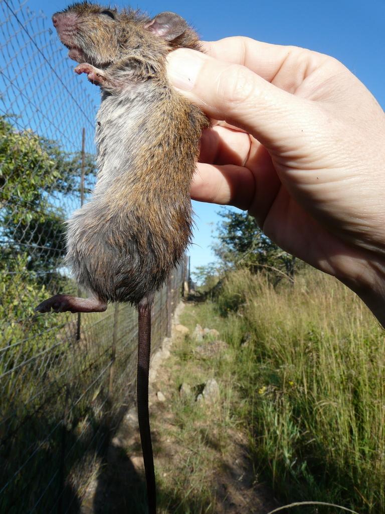 Red rock rat  Wikipedia