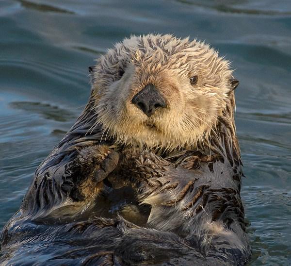 Giant otter pops