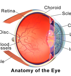 choroid wikipedia brodmann s areas and functions eye diagram and functions above view [ 1024 x 768 Pixel ]