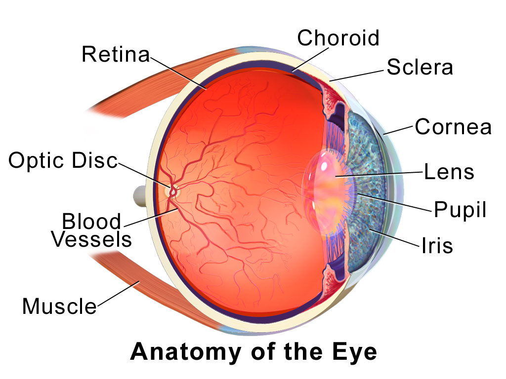 structure of human eye with diagram bohr for lithium choroid wikipedia