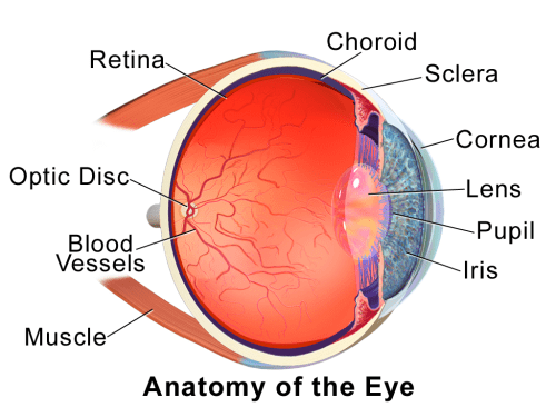 small resolution of outer eye diagram