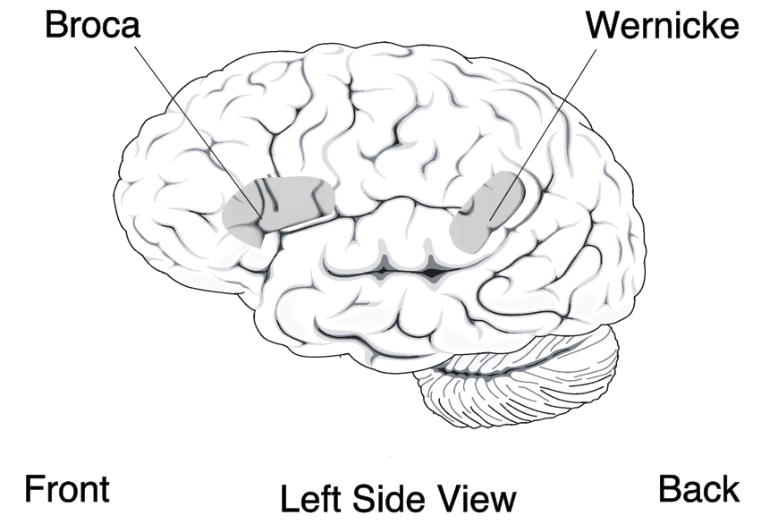 Location of two brain areas that play a critic...