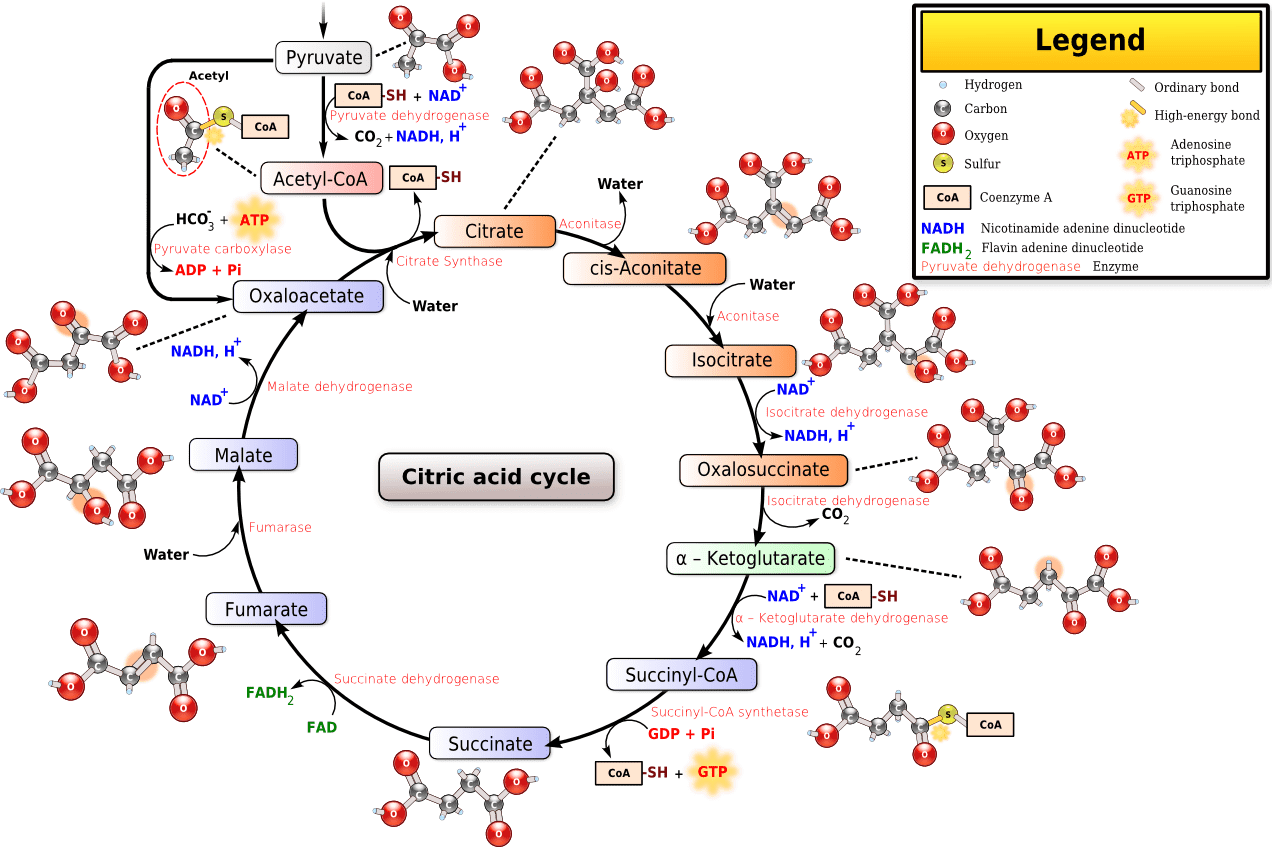 Datei Citricacidcycle Wikipedia