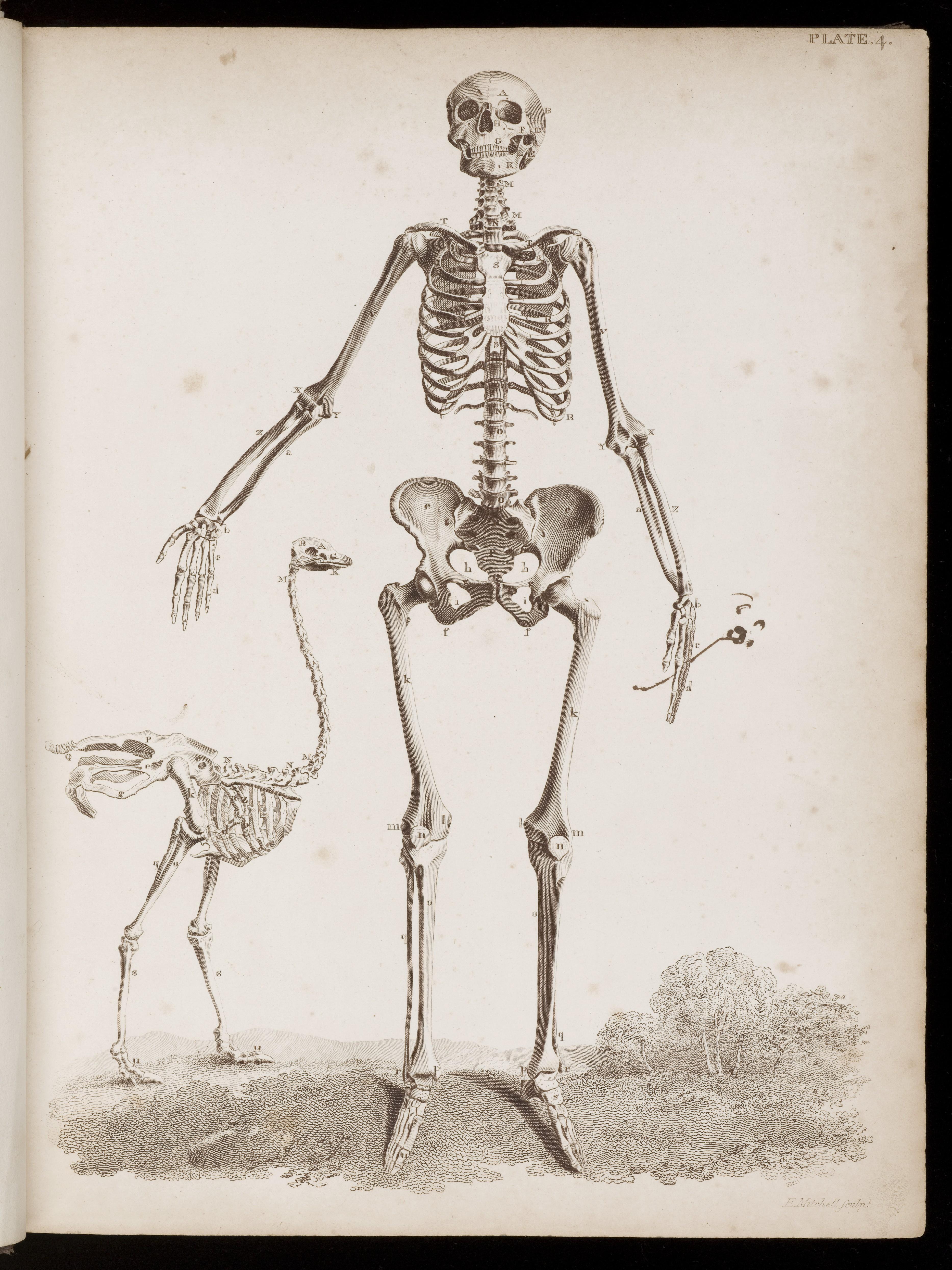 ostrich skeleton diagram msd 6al wiring ford tfi file female with wellcome l0048591 jpg wikimedia