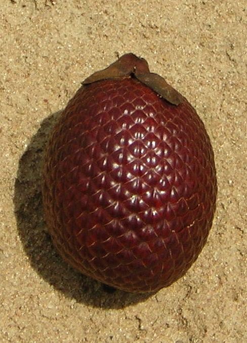 https://i0.wp.com/upload.wikimedia.org/wikipedia/commons/0/04/Buriti_frucht.JPG
