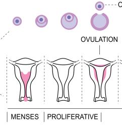 file menstrual cycle bottom png [ 1980 x 929 Pixel ]