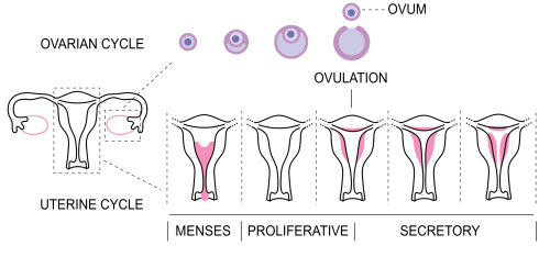 small resolution of file menstrual cycle bottom png
