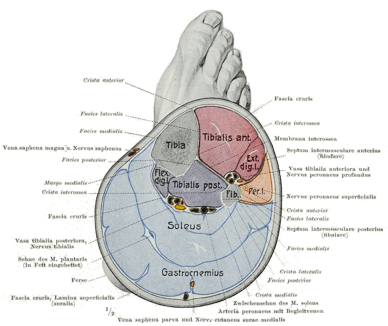hight resolution of diagram of gastrocnemiu