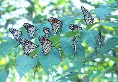 English: Monarch butterflies