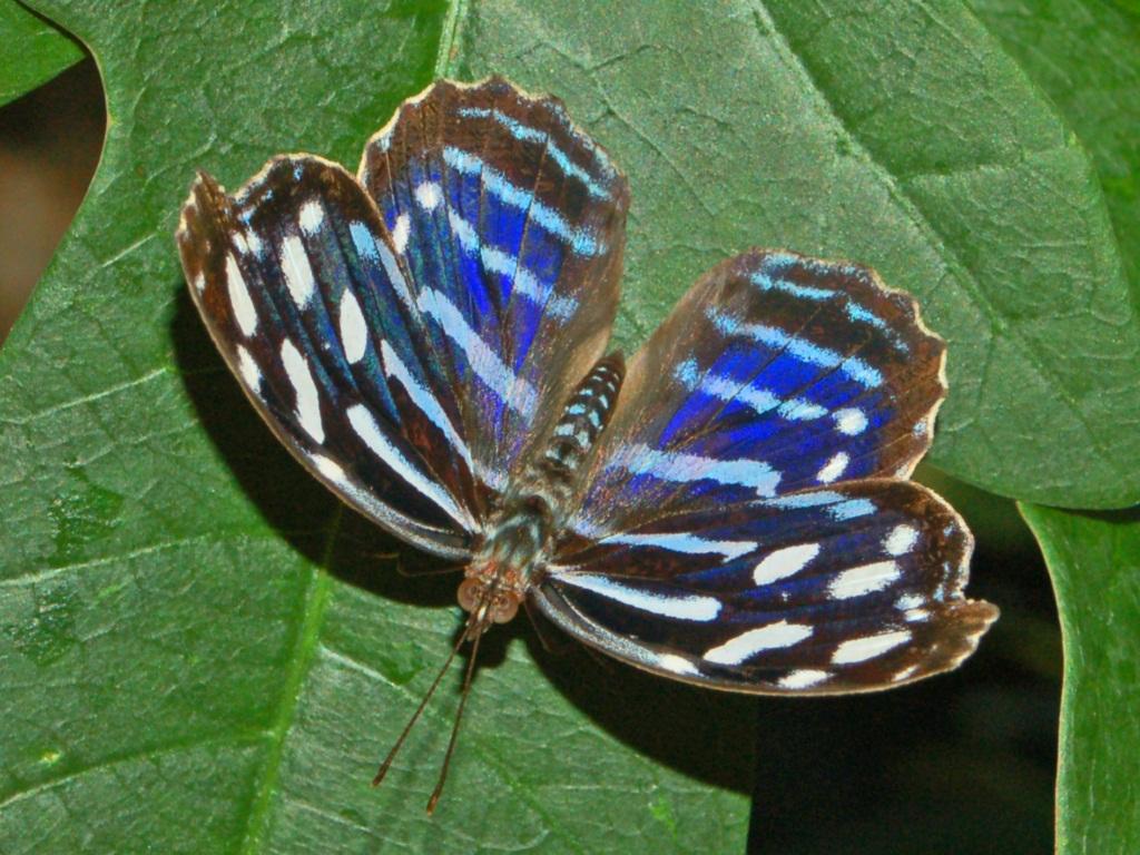 Myscelia cyaniris  Wikipedia