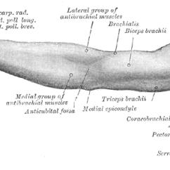 Muscle Diagram Anterior Hand Prestolite Alternator Wiring Extensor Pollicis Brevis - Wikipedia
