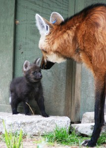 Very Cute Puppy Wallpapers Maned Wolf Wikipedia