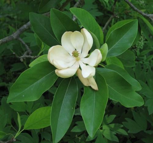 small resolution of magnolium tree diagram