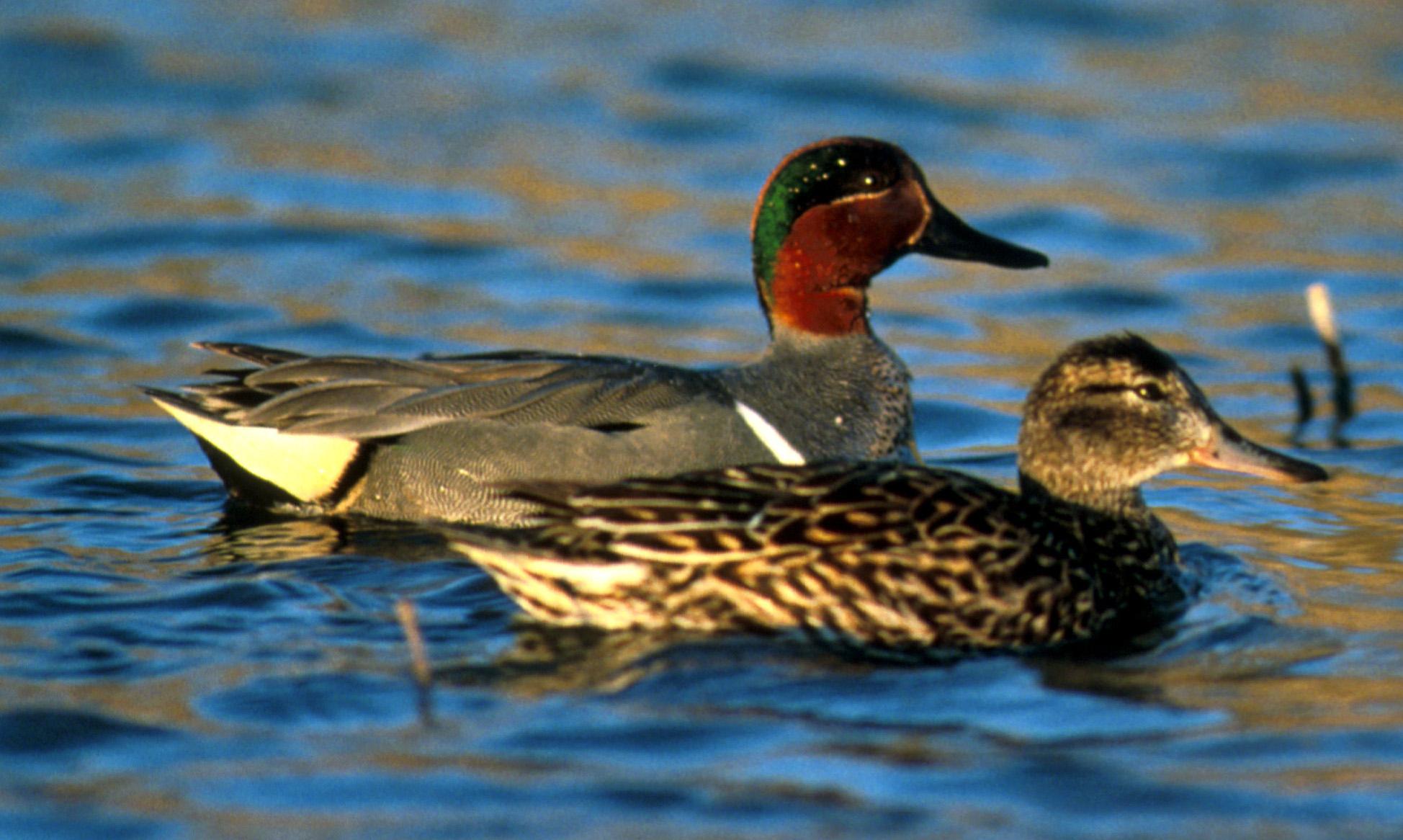 wild ducks in illinois