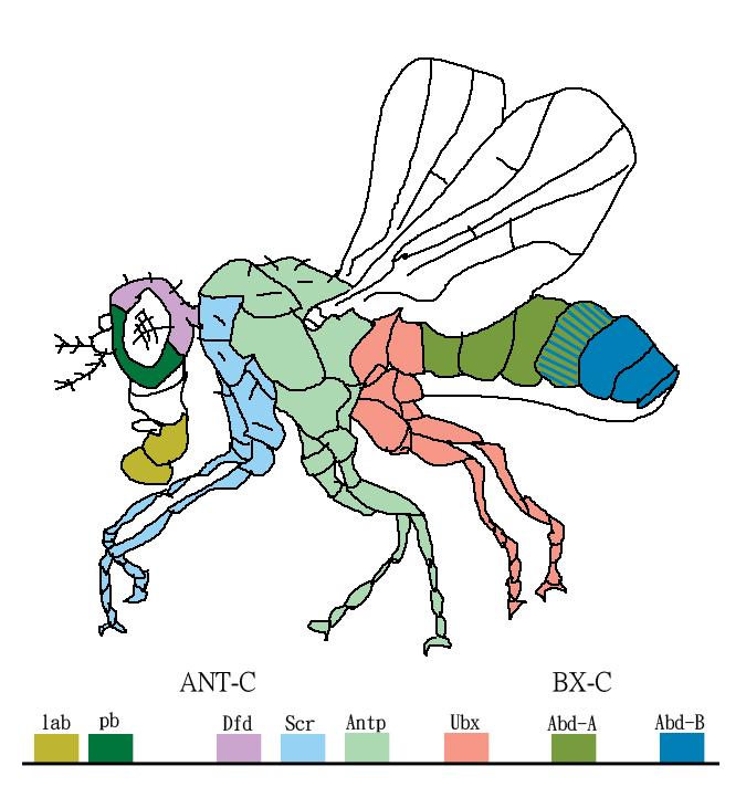 Eight Hox genes of D. melanogaster (fruitfly).