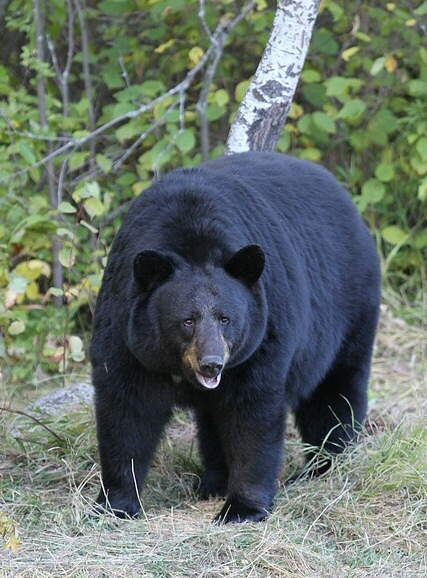 temperate forest food web diagram nordyne heat pump parts american black bear - wikipedia