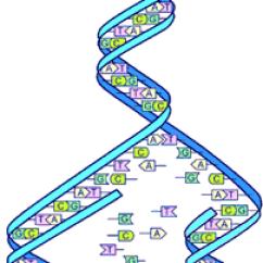 Dna Replication Diagram Worksheet 1997 Vw Jetta Wiring Human Genome Project - Wikipedia