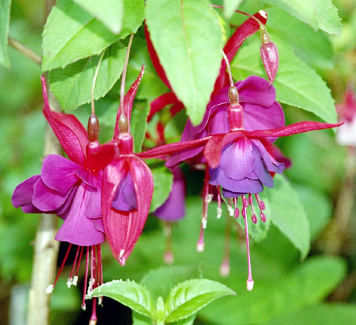 Fuchsia (color) - Wikipedia
