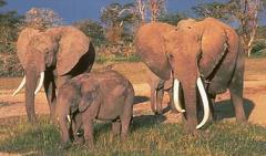 Elephant-tableau