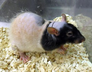 patchwork double rex pet rat
