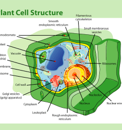file plant cell structure png [ 1024 x 815 Pixel ]