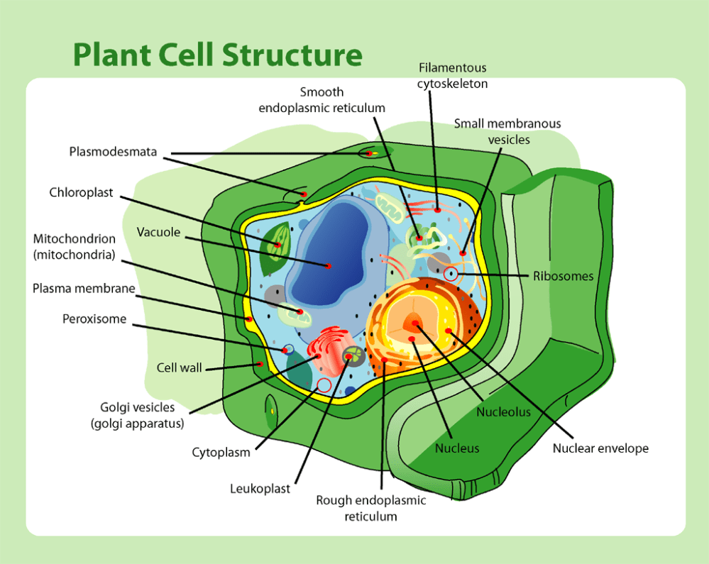 medium resolution of file plant cell structure png
