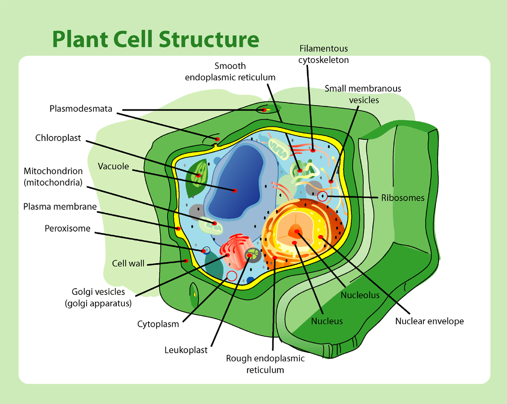 hight resolution of file plant cell structure png