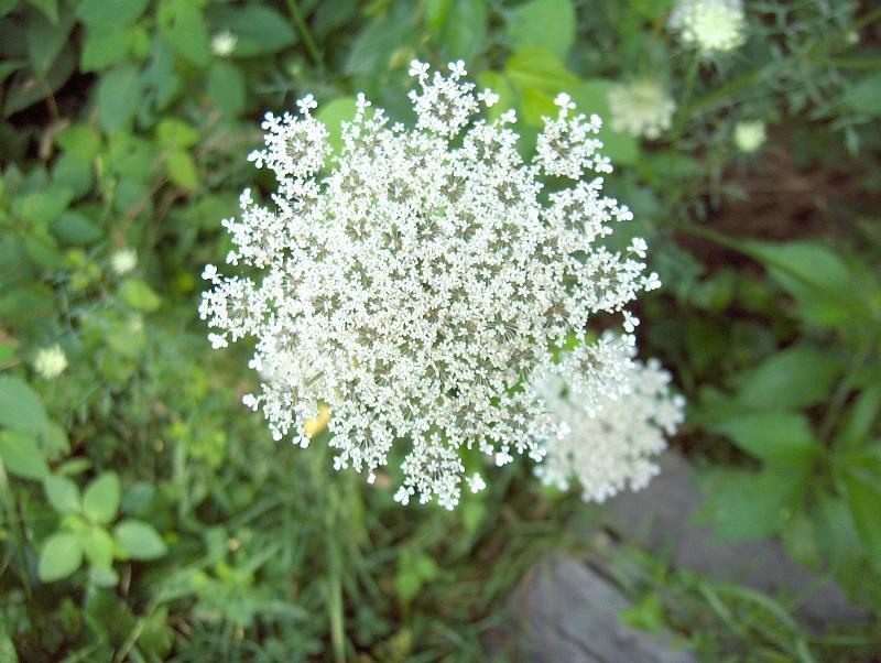 FileWild Carrot Flower 2973021958jpg Wikimedia Commons