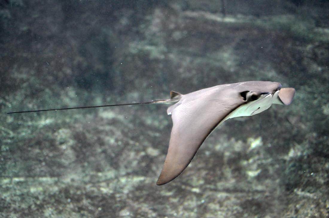 hight resolution of mantum ray swim diagram