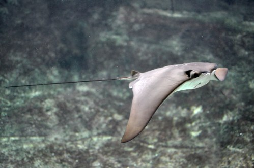 small resolution of mantum ray swim diagram