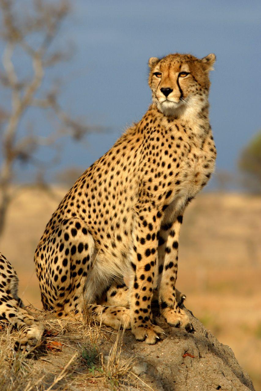 Tout Les Animaux D Afrique : animaux, afrique, Guépard, Wikipédia