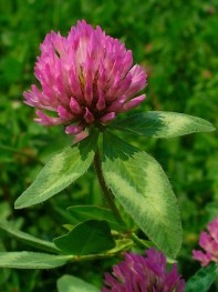 Image result for Trifolium pratense
