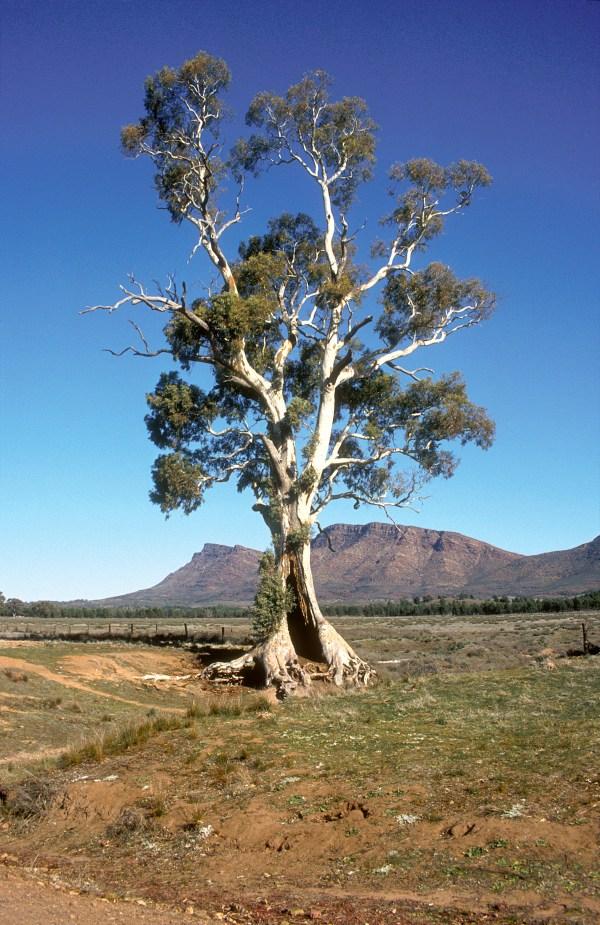 cazneaux tree - wikipedia