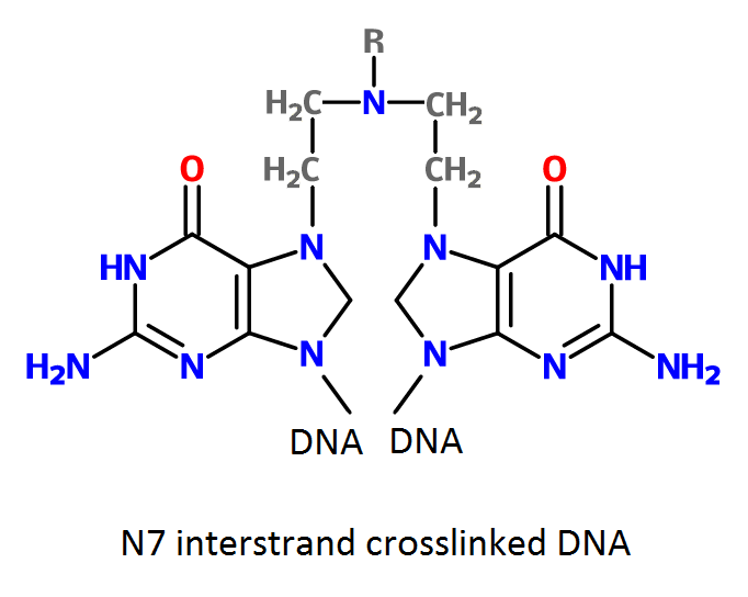 File:Cross-linked DNA by nitrogen mustard.png
