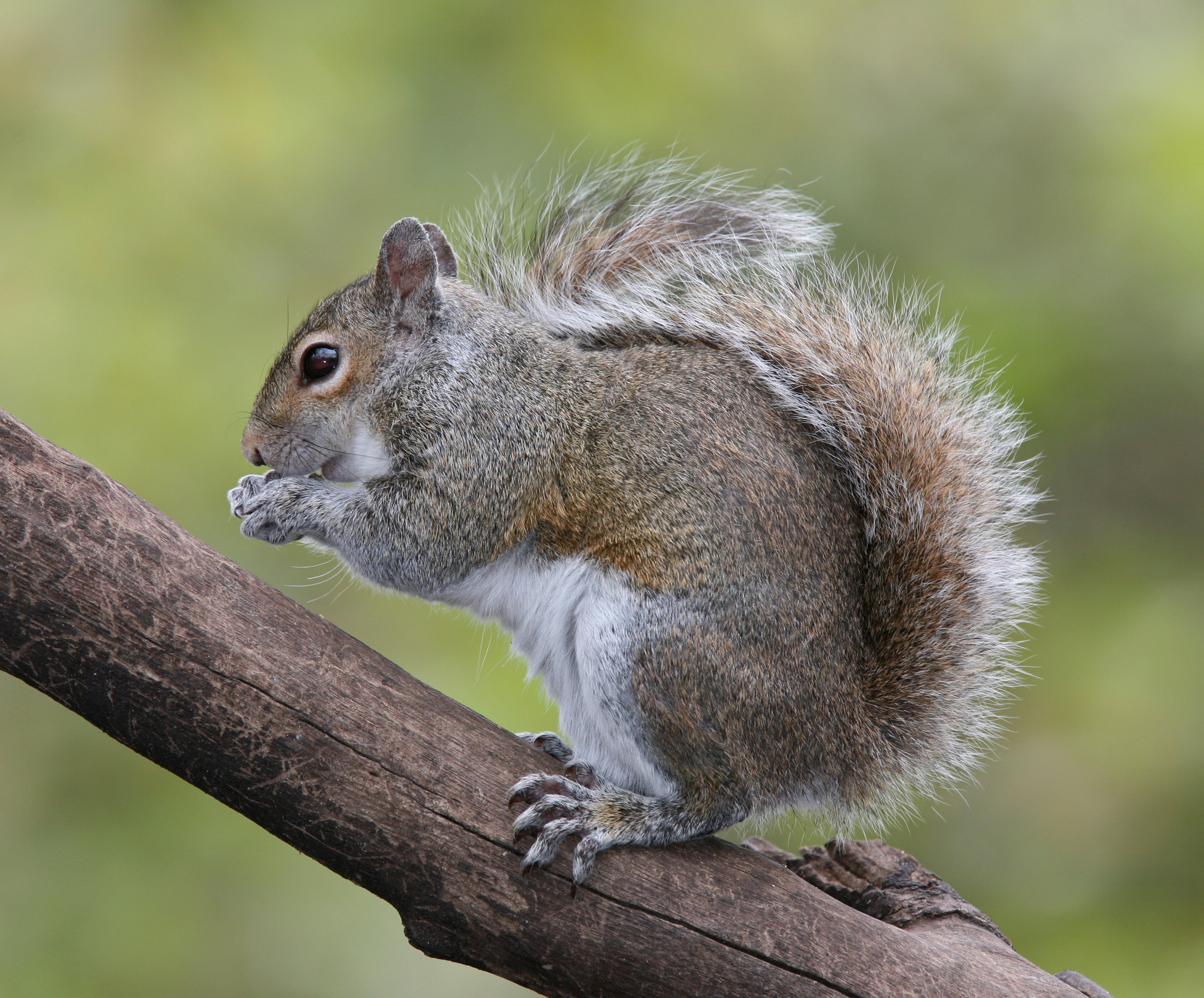 eastern gray squirrel wikipedia