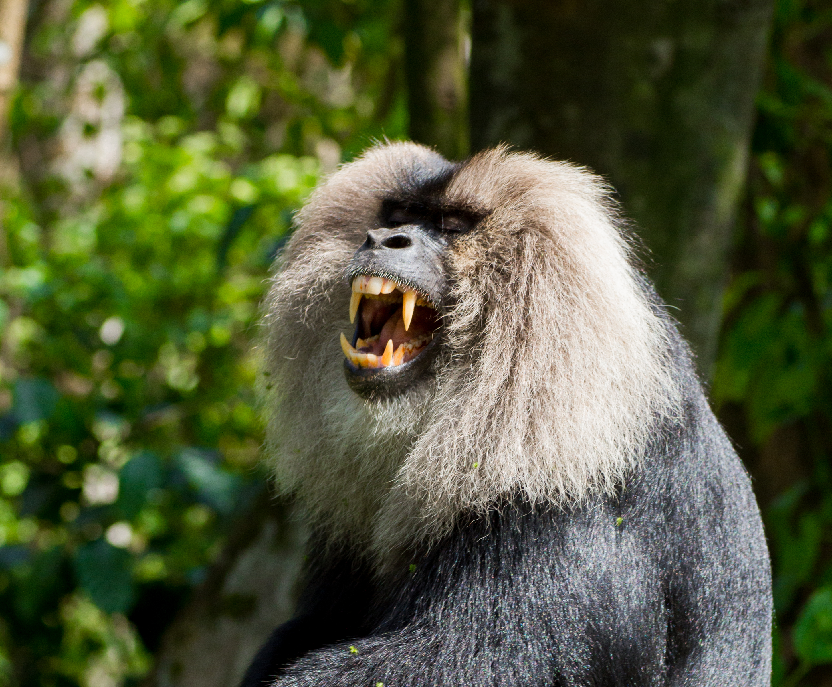 file lion tailed macaque by n a nazeer jpg