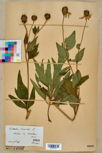 Rudebeckia herbarium specimen. Image courtesy of University of Neuchâtel [CC BY-SA 3.0 (https://creativecommons.org/licenses/by-sa/3.0)]