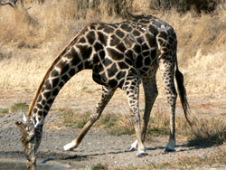 English: Giraffe