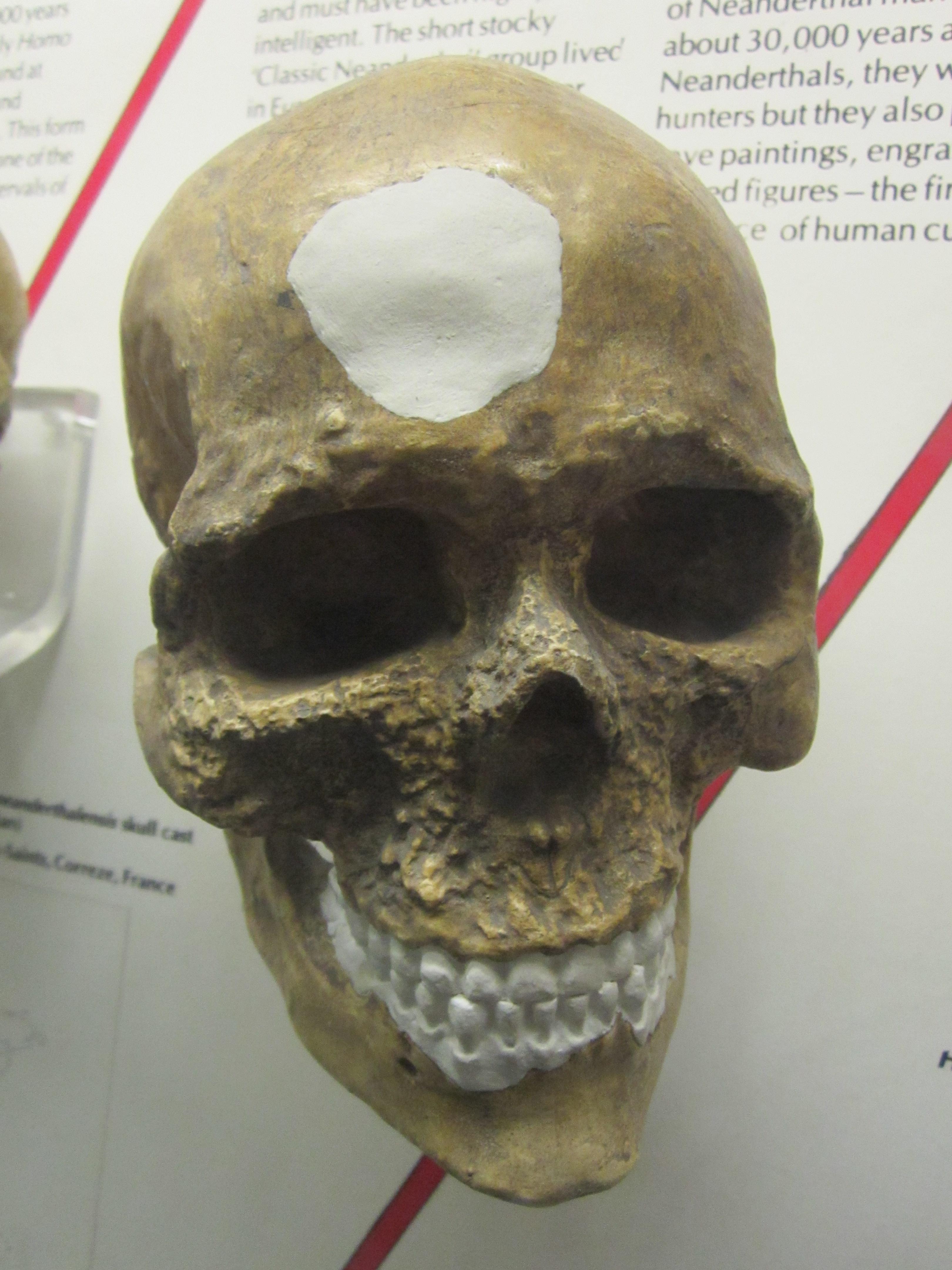 File Homo Sapiens Sapiens Cro Magnon Man World Museum