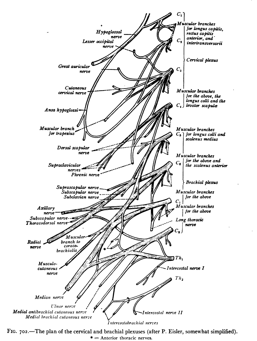 hight resolution of diagram of human spine with nerf