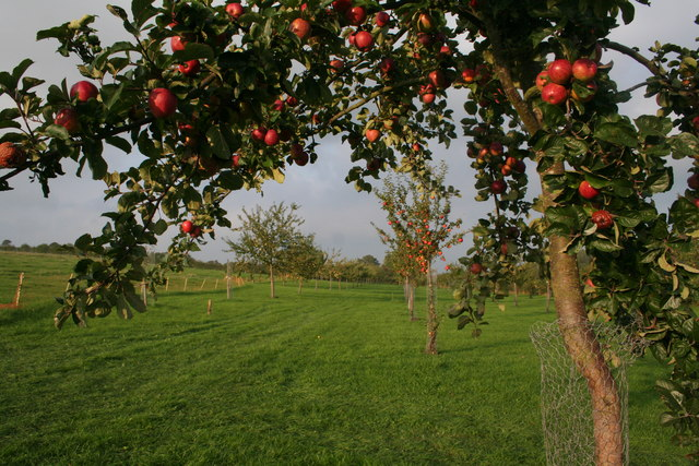 English: Young Orchard, Lyne Down Farm Taken d...
