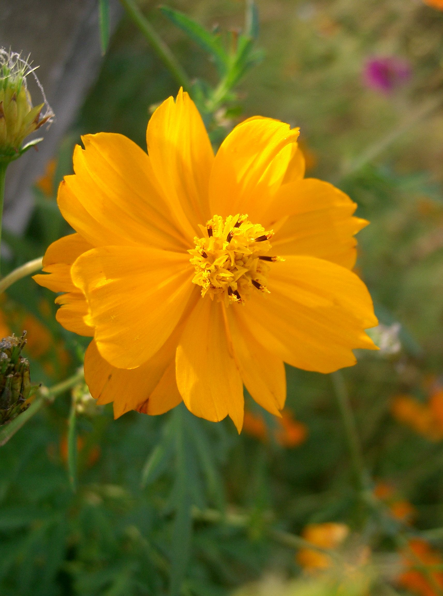 The Cosmos flower is the symbol of World Kindness Day.