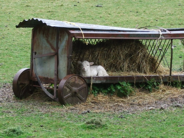 File:Lamb sheltering in field in Penmachno - geograph.org.uk - 1433152.jpg
