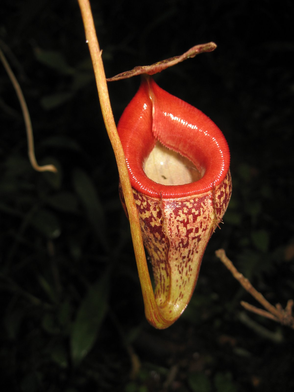 Nepenthes Talangensis