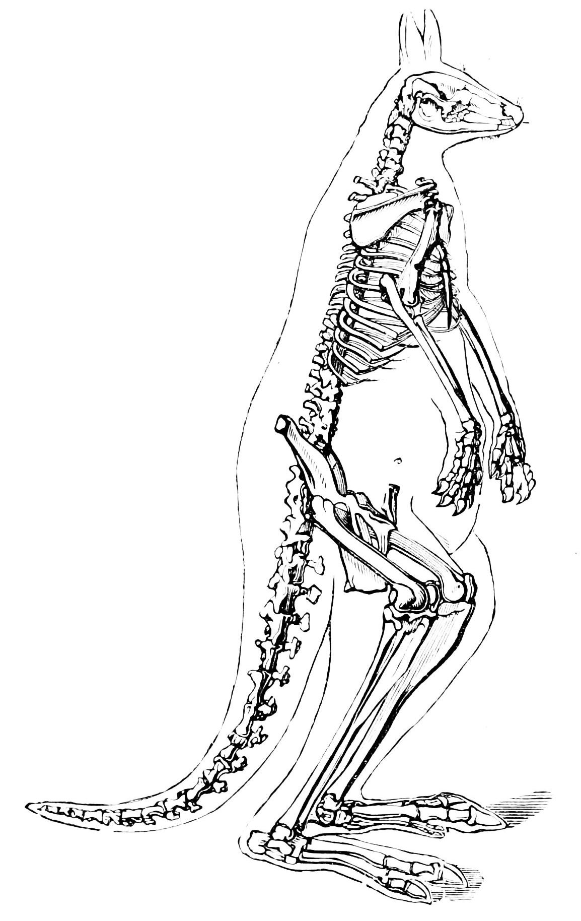 File Psm V08 D430 Skeleton Of The Kangaroo
