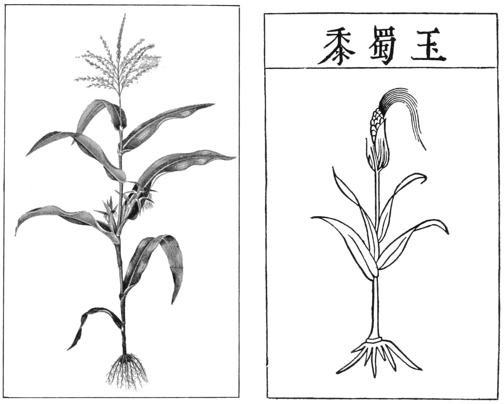 File Psm V82 D230 Maize And Its Proposed Asiatic Origin