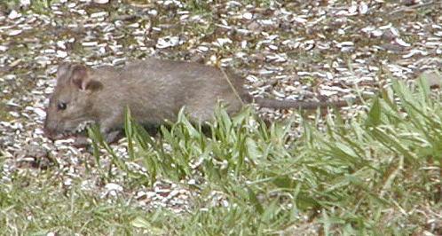 Rat (Rattus norvegicus) eating sunflower seads, Photo by Martin Hvidberg