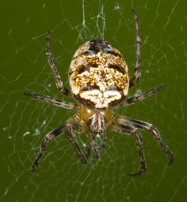 Zilla spider  Wikipedia