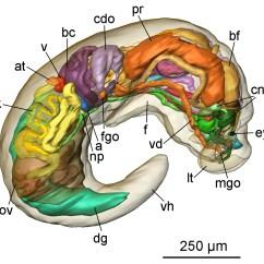 Slug Anatomy Diagram Australian Telephone Wall Socket Wiring File Pseudunela Cornuta 2 Jpg Wikimedia Commons