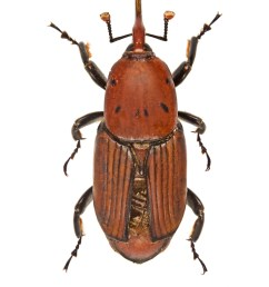 rhynchophorus ferrugineus [ 2955 x 3918 Pixel ]